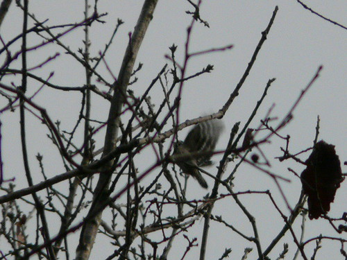 Lesser Spotted Woodpecker (record shot!)