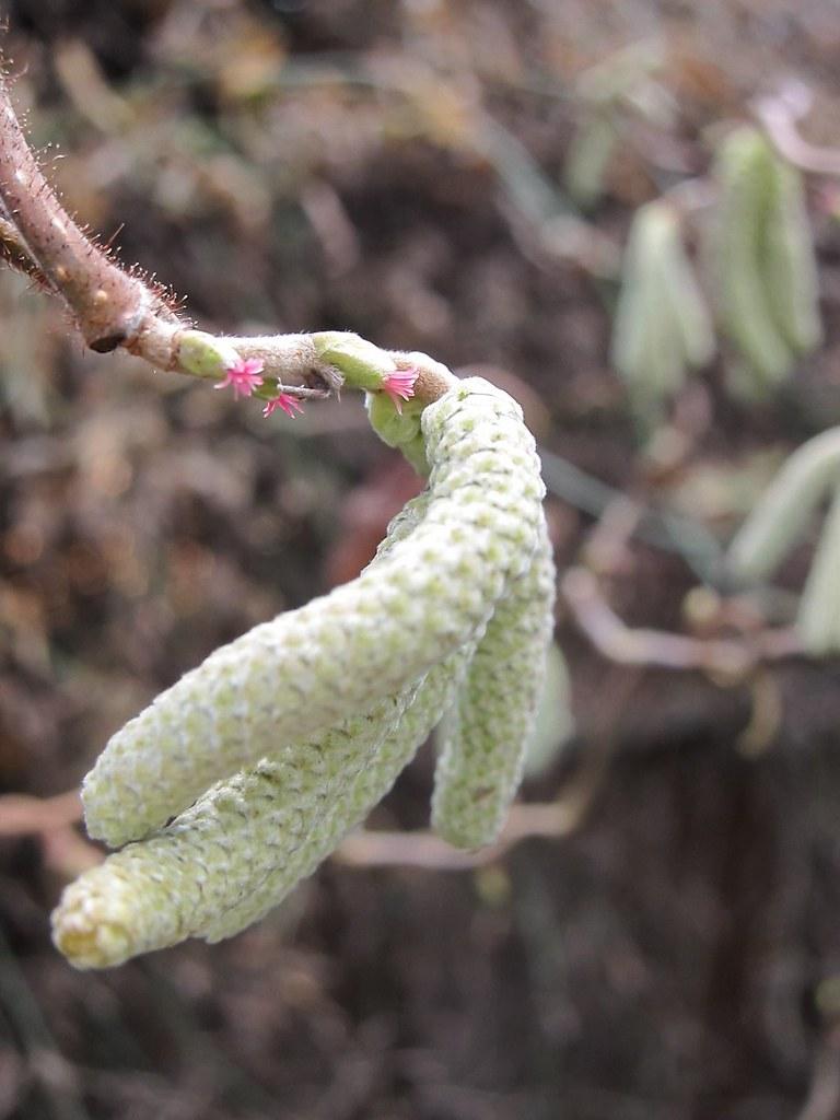 Harry Lauder's Walking Stick flowers