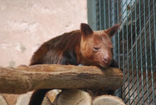 Goodfellow-Baumkänguru im Zoo Parc de Beauval