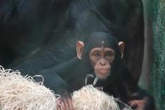 Schimpanse im Zoo Parc de Beauval