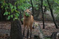 Mähnenwolf in der Safari de Peaugres