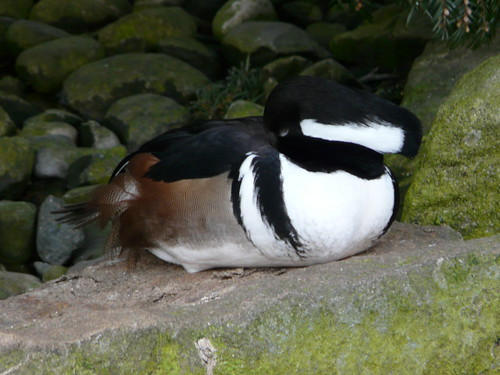 Hooded Merganser (captive)