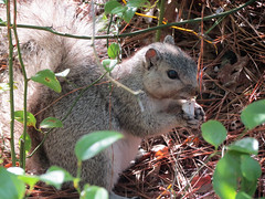 Delmarva Fox Squirrel (Chincoteague NWR)