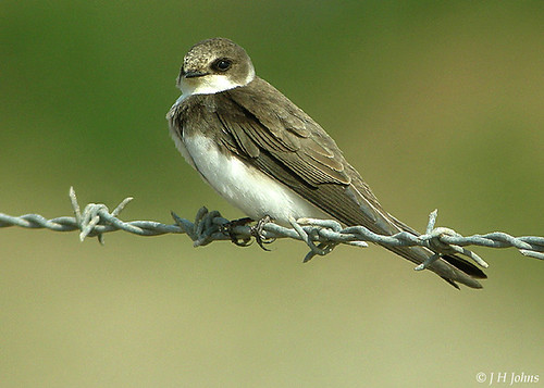 "Sand Martin (J H Johns) • <a style=""font-size:0.8em;"" href=""http://www.flickr.com/photos/30837261@N07/10723054684/"" target=""_blank"">View on Flickr</a>"
