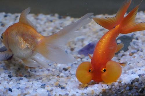 眼の下に巨大な袋を持つ謎の金魚「スイホウガン(水泡眼)」とは?   エピネシス