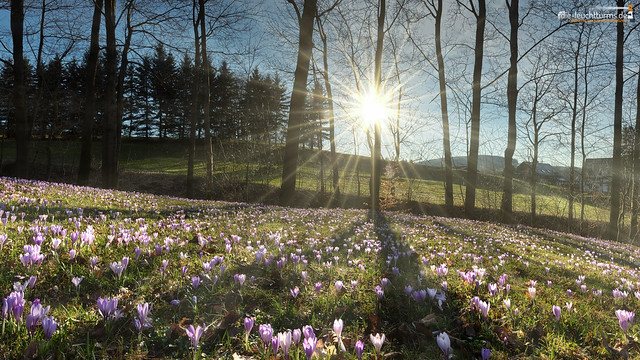 Crocus meadows in Drehbach
