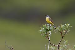 Eastern Yellow Wagtail | östlig gulärla | Motacilla tschutschensis
