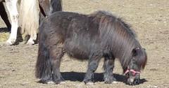"""Das Pony. Die Ponys. Dieses Pony hat eine sehr lange Mähne. Das Pony sieht etwas zottelig aus. • <a style=""""font-size:0.8em;"""" href=""""http://www.flickr.com/photos/42554185@N00/34092263832/"""" target=""""_blank"""">View on Flickr</a>"""