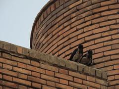 Crows in love - Blue mosque - Tabriz, Iran