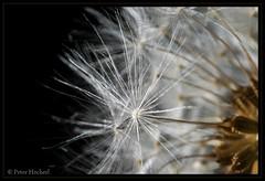"Löwenzahn mit Vivitar 2.8/28mm • <a style=""font-size:0.8em;"" href=""http://www.flickr.com/photos/58574596@N06/8765009252/"" target=""_blank"">View on Flickr</a>"