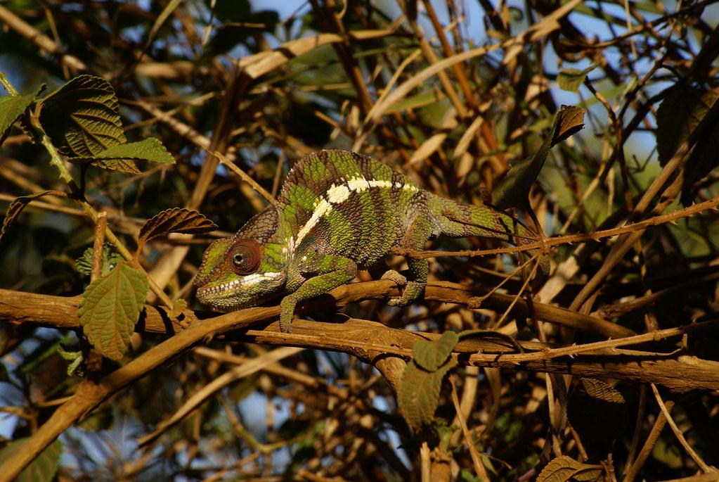 Panther chameleon by BingoBangoGringo, on Flickr