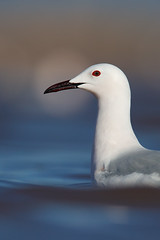 Slender-billed Gull | långnäbbad mås | Chroicocephalus genei