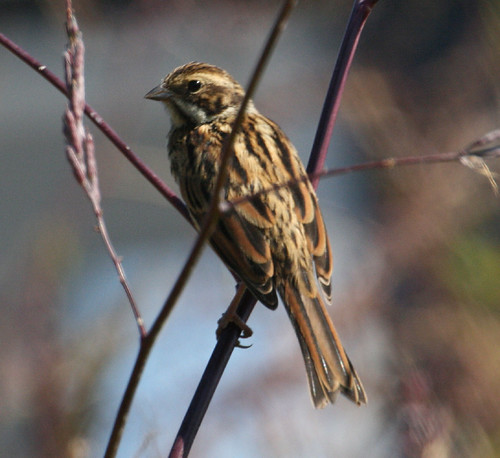 "Reed Bunting • <a style=""font-size:0.8em;"" href=""http://www.flickr.com/photos/30837261@N07/10722828394/"" target=""_blank"">View on Flickr</a>"