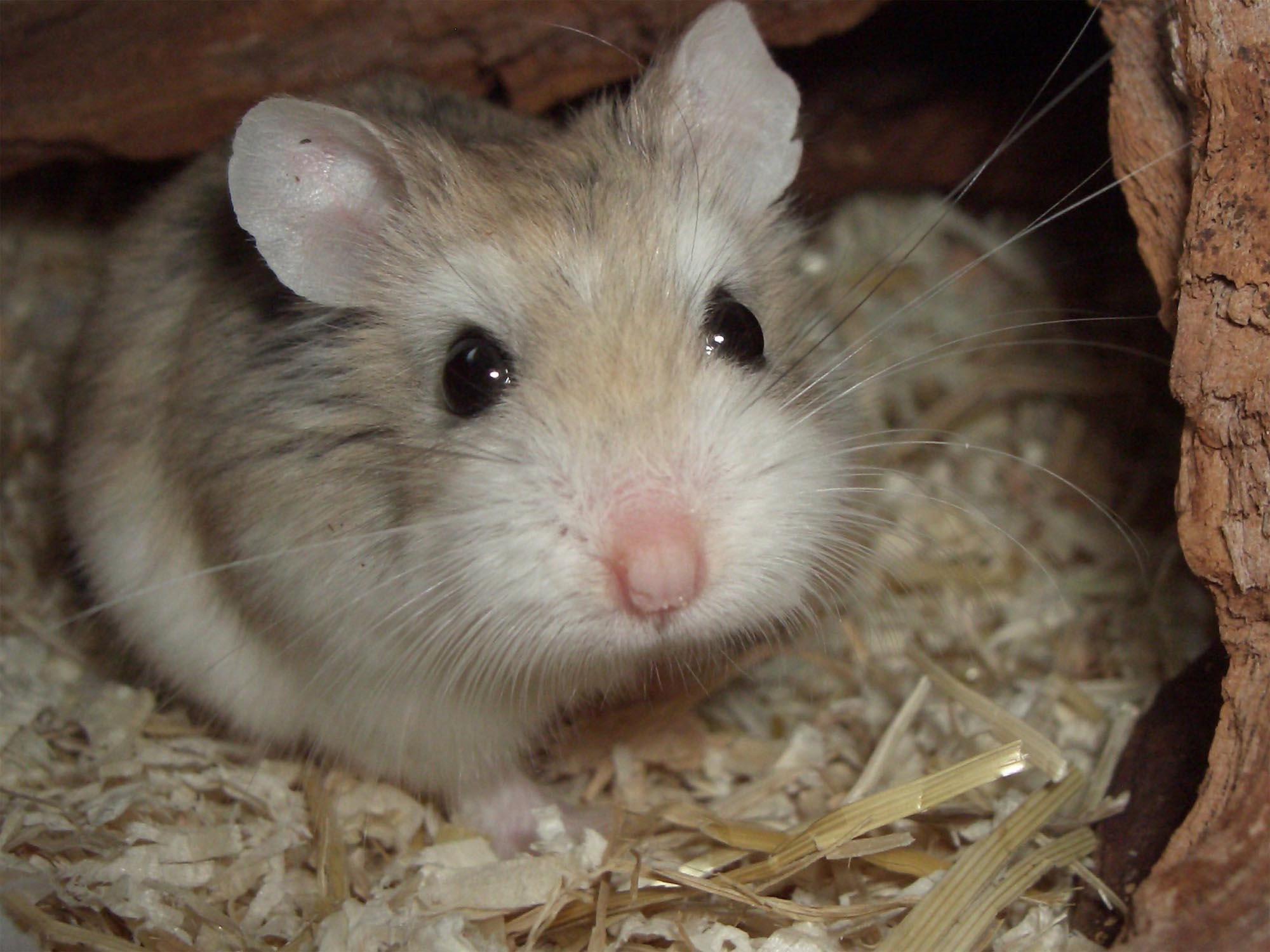 可愛小倉鼠 | 圖片桌布王 | 773