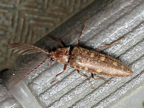 ヒゲコメツキ(Click beetle)