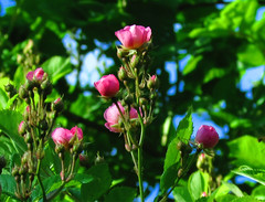 Rose Bushes Blossoming