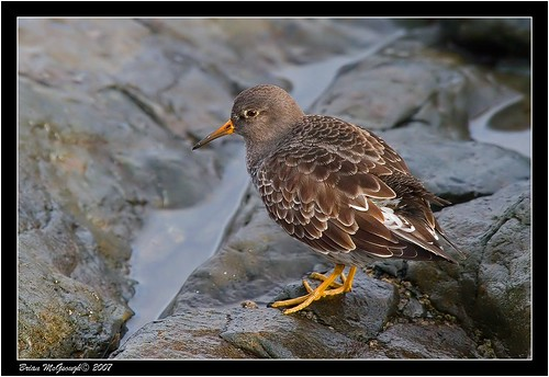 "Purple Sandpiper (B.McGeough) • <a style=""font-size:0.8em;"" href=""http://www.flickr.com/photos/30837261@N07/10723274416/"" target=""_blank"">View on Flickr</a>"