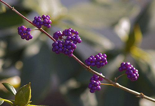 Callicarpa Barries