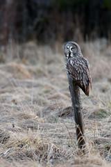 Great Grey Owl | lappuggla | Strix nebulosa