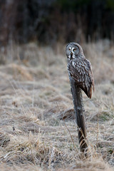 Great Grey Owl | lappuggla | Strix nebulosa