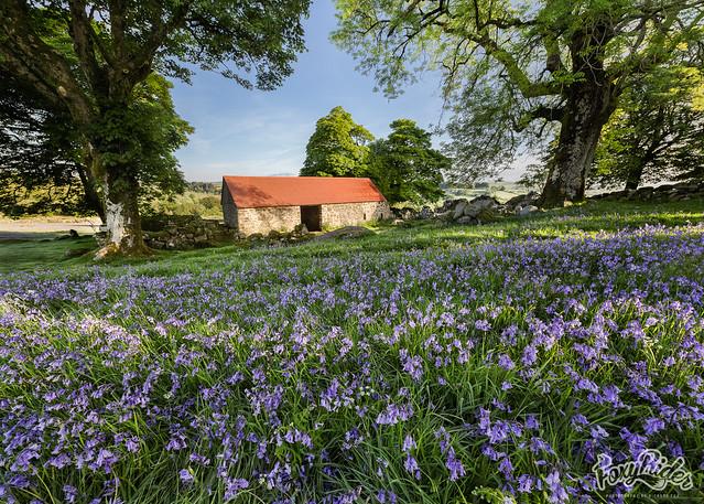 Emsworthy Barn Bluebells - 3 shot stitch