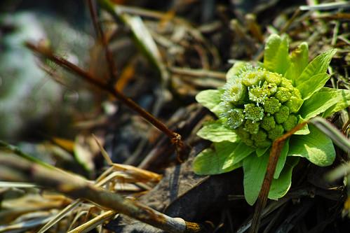 Petasites japonicus Flower - 蕗の薹(フキノトウ)