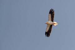 Egyptian Vulture | smutsgam | Neophron percnopterus