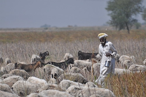 india field sheep farming goats local sheperd... (Photo: The Spirit of the World on Flickr)