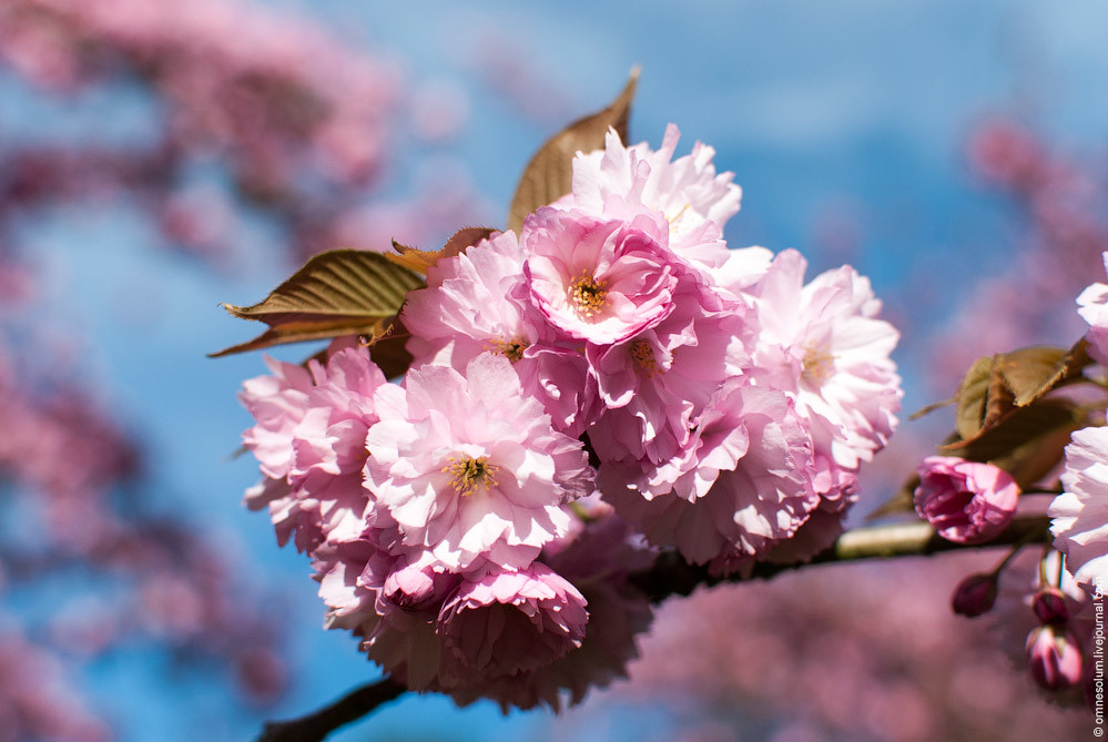 www.cherry cvjetaju azijski izlasci