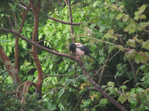 """Rose-coloured Starling, Tywardreath 04.06.2014 (A.Parkes) • <a style=""""font-size:0.8em;"""" href=""""http://www.flickr.com/photos/30837261@N07/14368365426/"""" target=""""_blank"""">View on Flickr</a>"""