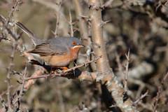 Western Subalpine Warbler | rostsångare | Sylvia inornata