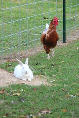 """White Bunny & Rooster • <a style=""""font-size:0.8em;"""" href=""""http://www.flickr.com/photos/72892197@N03/15458120011/"""" target=""""_blank"""">View on Flickr</a>"""