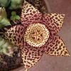 Estrela Suculenta por JR2V