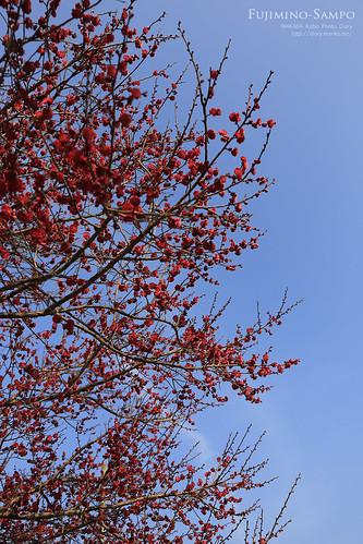 20140226-IMG_6865(青空に深紅の紅梅)