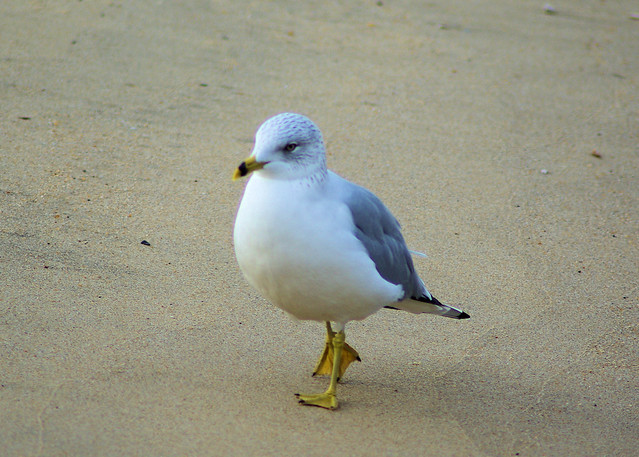Seagull walking on sand, Norfolk, Virginia, December 13, 2007