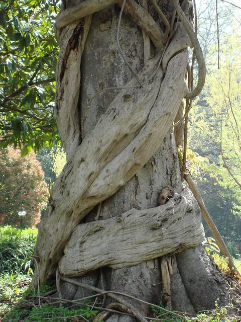 Wisteria Vine Around Tree