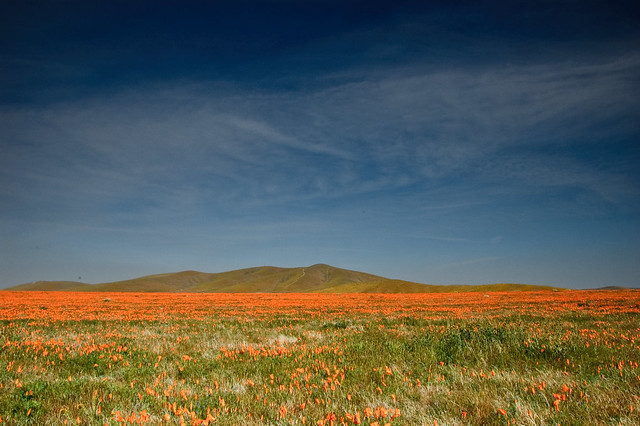 Endless Poppies