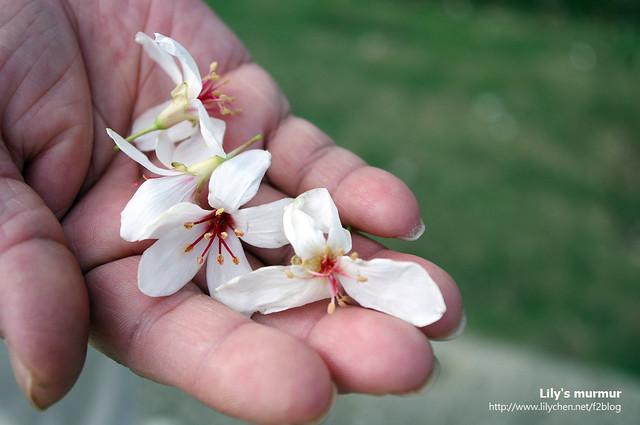 潔白的桐花,另外一種五月花。