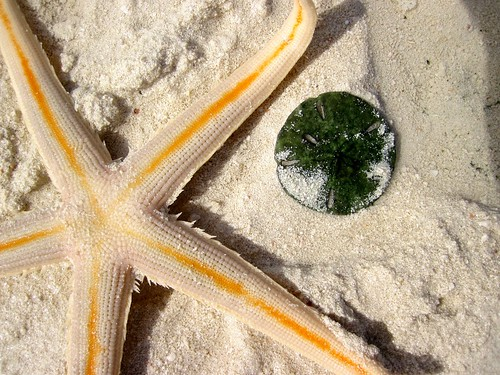 Starfish and live sand dollar