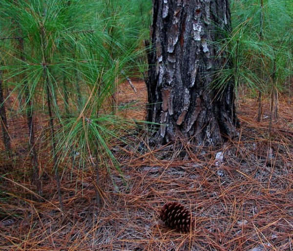 A new Pine forest grows
