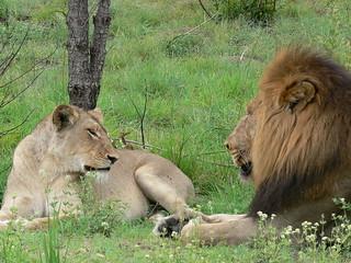 Lioness & Lion