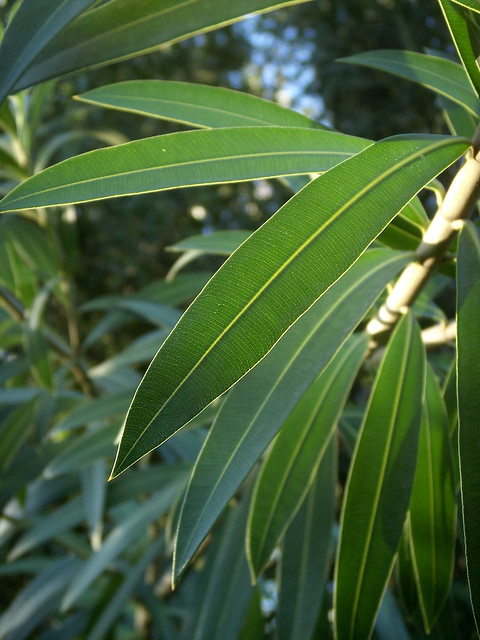 Oleander Leaves with Sky  This is the better image of the t  Flickr  Photo Sharing