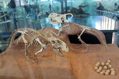 NYC - AMNH: Hall of Ornithischian Dinosaurs - Protoceratops Andrewsi