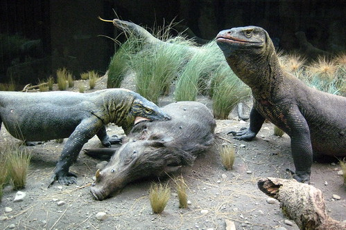NYC - AMNH - Hall of Reptiles and Amphibians - Komodo Dragon by Wally Gobetz