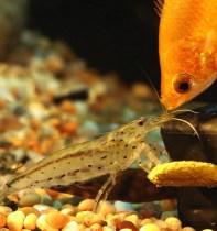 Caridina Japonica Shrimp & Honey Gourami