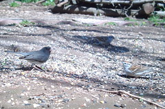 The juncos are here, Chipping Sparrow and Dark-eyed Junco
