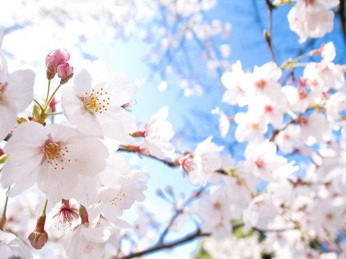 sakura '10 - cherry blossoms #9 (Keage, Kyoto)