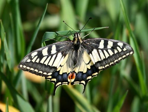 Swallowtail (Papilio machaon) 1