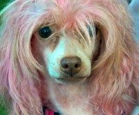 Dogs with Dyed Fur - A Dye-r Warning (sorry)