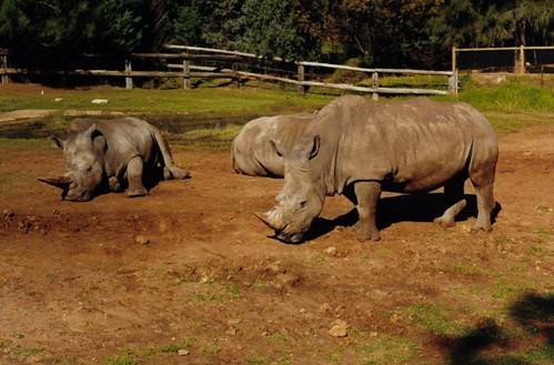 White Rhinoceros at Dubbo's Western Plains Zoo